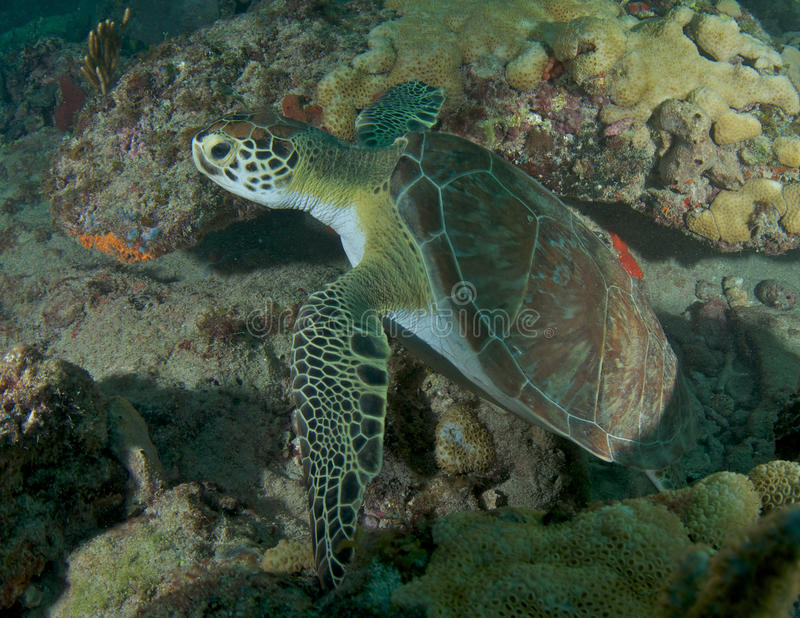 Green Sea Turtle. Chelonia mydas, picture taken on a reef in Lauderdale By The Sea,Florida stock image