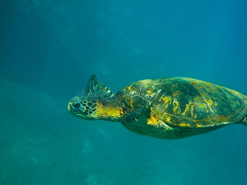 Green Sea Turtle. Swimming over coral reef in Hawaii royalty free stock image