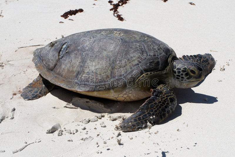 Download Green Sea Turtle Royalty Free Stock Photo - Image: 1674595
