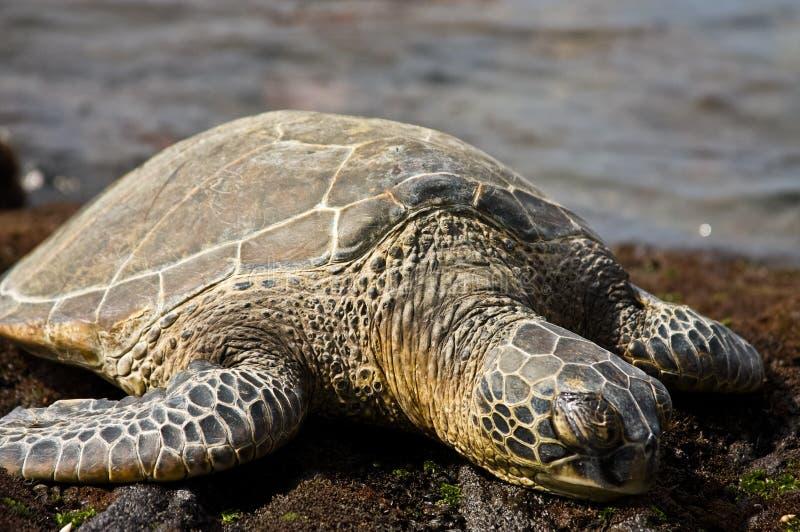 Green Sea Turtle. A green sea turtle lounges on the beach on Hawaii's Kona coast stock photos