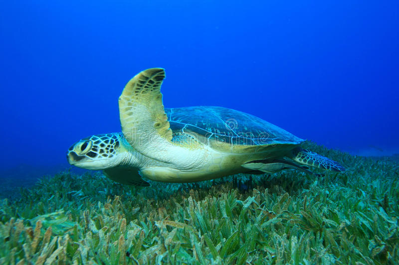 Green Sea Turtle. (Chelonia mydas) swims over seagrass stock photos