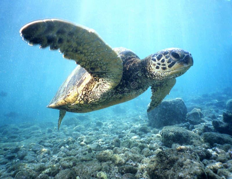 Green Sea Turtle 2 royalty free stock photo