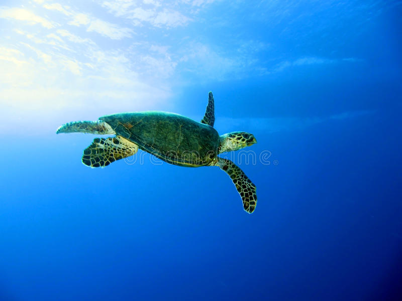 Green sea turtle. (Chelonia mydas), Red Sea, Egypt royalty free stock images