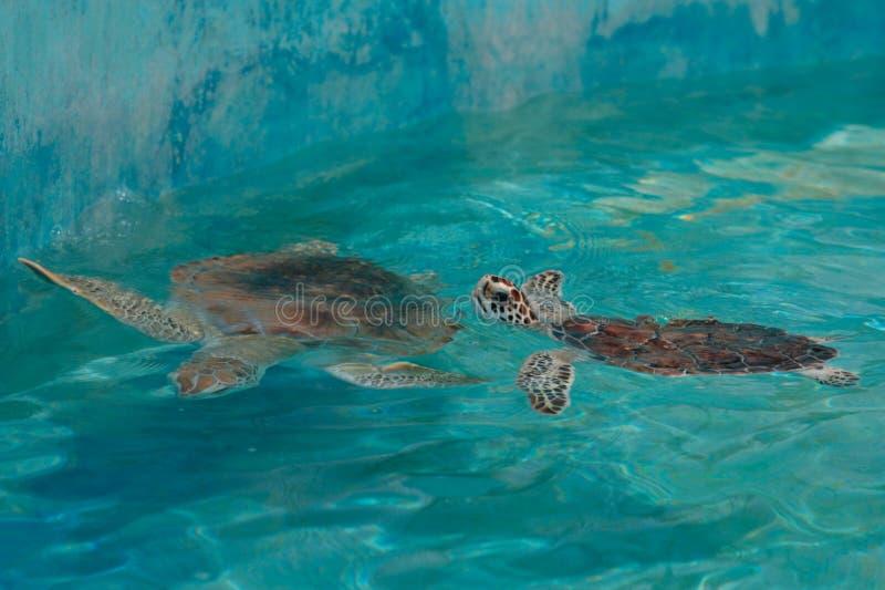 Download Green Sea Turtle stock image. Image of chelonia, beautiful - 20966871