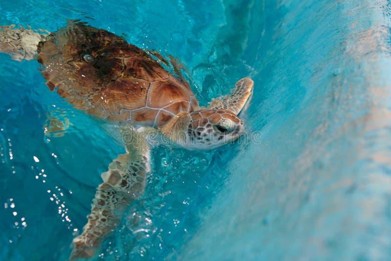 Green Sea Turtle. In Barbados royalty free stock photos