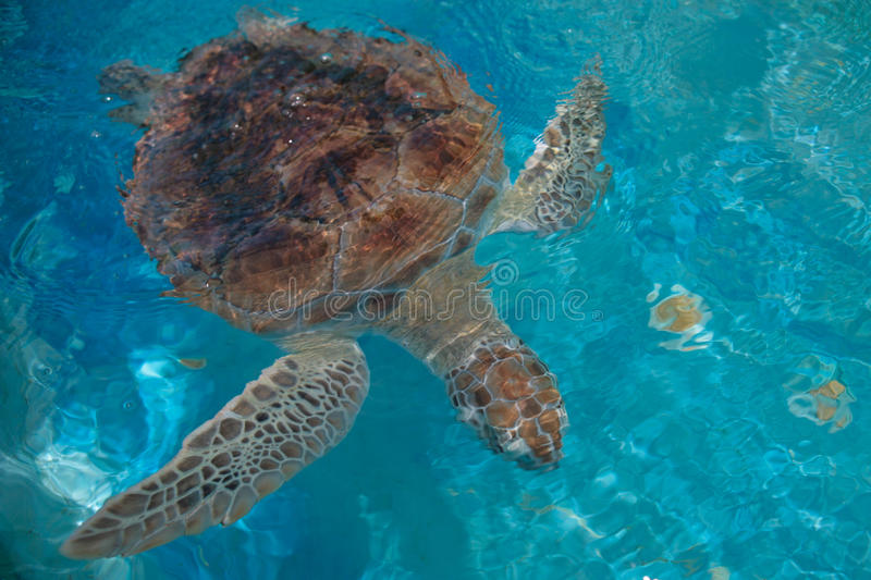 Green Sea Turtle. In Barbados royalty free stock photo