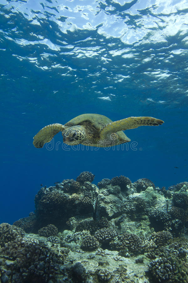 Green Sea Turtle. Hawaiian Green Sea Turtle swimming in the shallow reef off the Kona coast on the Big Island of Hawaii stock image