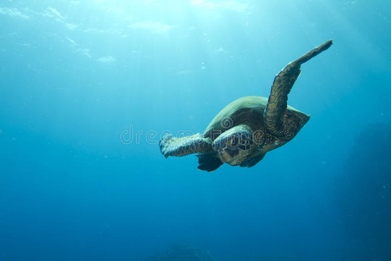 Green Sea Turtle. Hawaiian Green Sea Turtle swimming in the open ocean off the Kona coast on the Big Island of Hawaii royalty free stock photo
