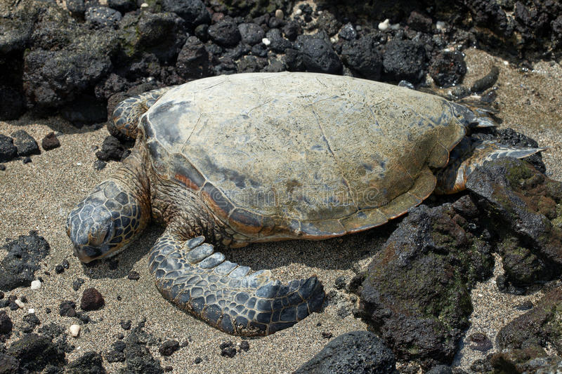Download Green Sea Turtle stock image. Image of endangered, hawaii - 26382777