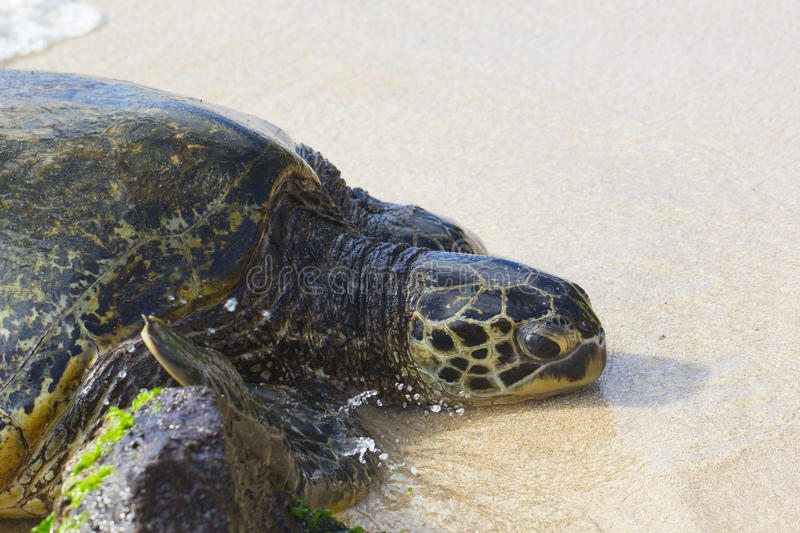 Download Green Sea Turtle stock photo. Image of mydas, north, chelonia - 27146244