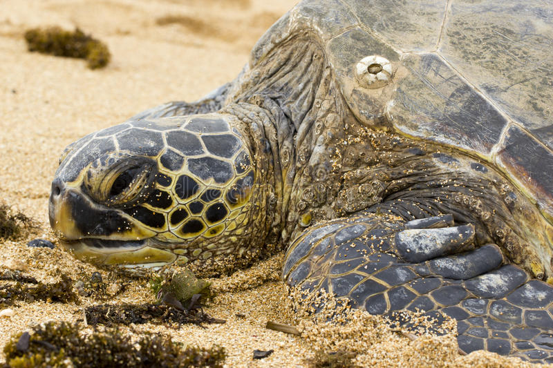 Green Sea Turtle. Chelonia mydas, also known as green sea turtle, has just come up the shore at Haleiwa beach park, north shore of Oahu, Hawaii. According to stock image