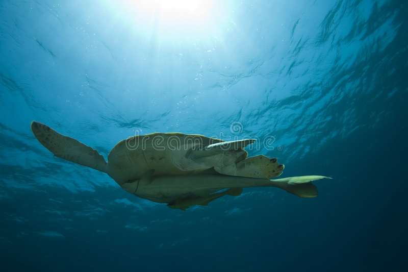 Green Sea Turtle. Underwater view of a green sea turtle, sunlight showing at the top of photo royalty free stock images