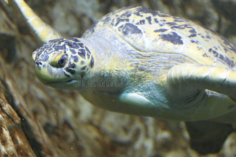 Green sea turtle. Floating in water stock images