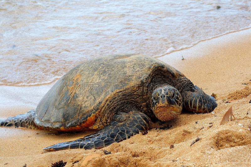 Green Sea Turtle 7. This green sea turtle is resting on the beach of North Shore on the island of Oahu in Hawaii, USA stock images