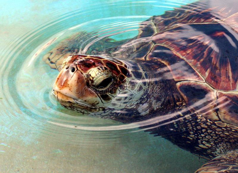 Green Sea Turtle. Close up of Green Sea Turtle stock image