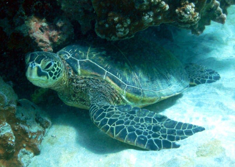 Green Sea Turtle. At Ahihi Kinau, Maui royalty free stock photography