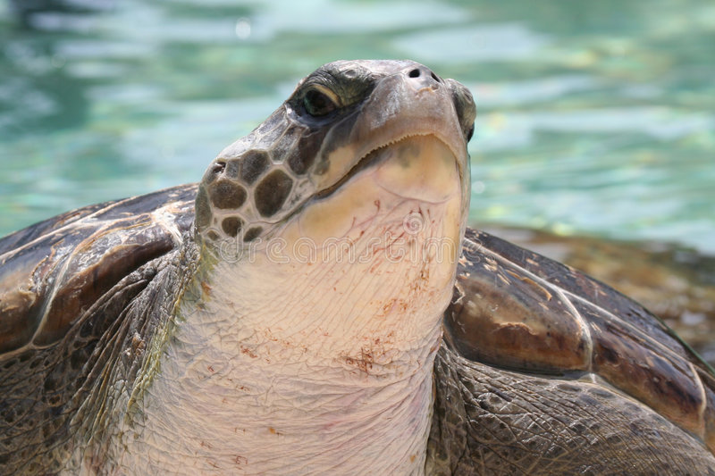 Green Sea Turtle. Face With Subtle Smile royalty free stock image