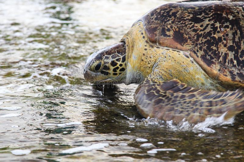 Green sea turtle - Tangalle - Sri Lanka. The green sea turtle, also known as the green turtle, black turtle or Pacific green turtle, is a large sea turtle of the royalty free stock image