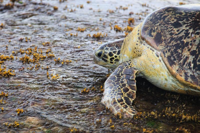 Green sea turtle - Tangalle - Sri Lanka stock photo
