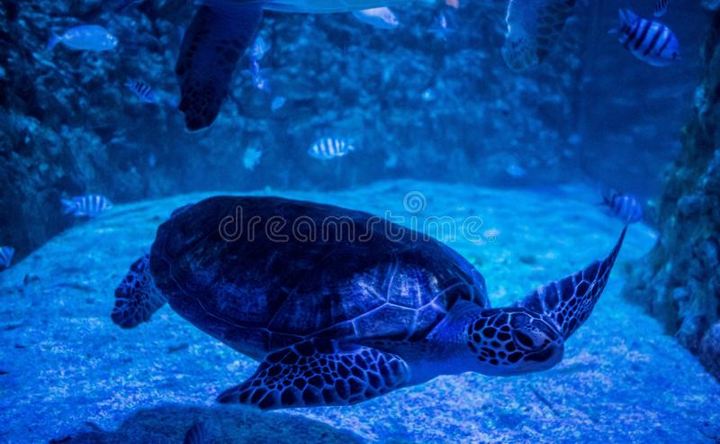 Green sea turtle in aquarium. Green sea turtle swimming in blue water aquarium. Grand Hurghada Aquarium in Egypt royalty free stock image