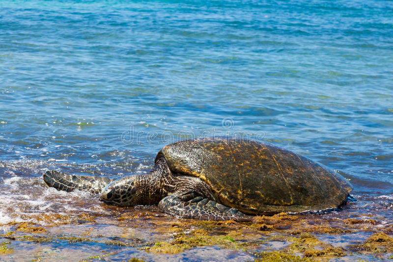 Green sea turtle arriving stock photo