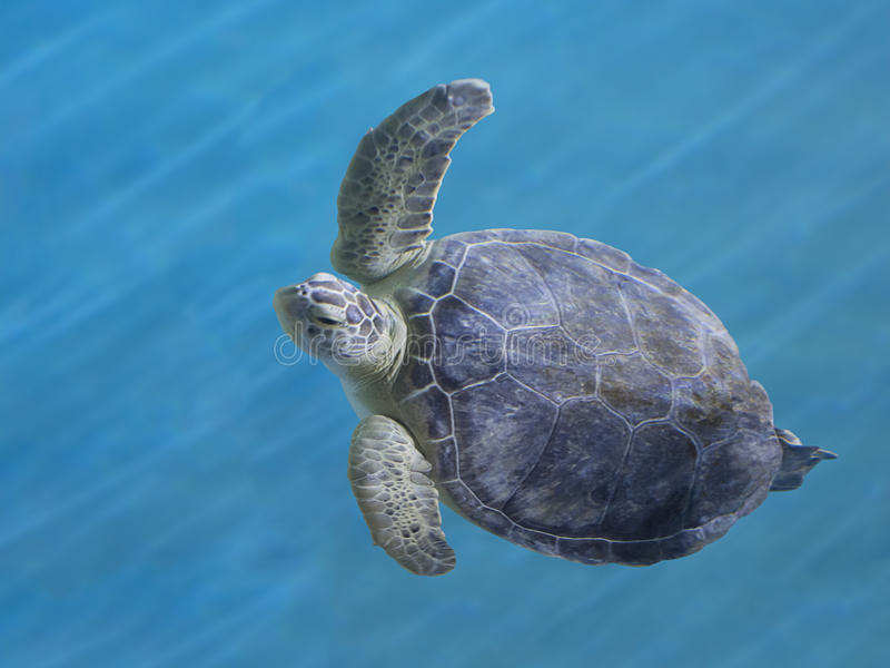 Green Sea Turtle. A beautiful and graceful Green Sea Turtle swimming in blue water royalty free stock images