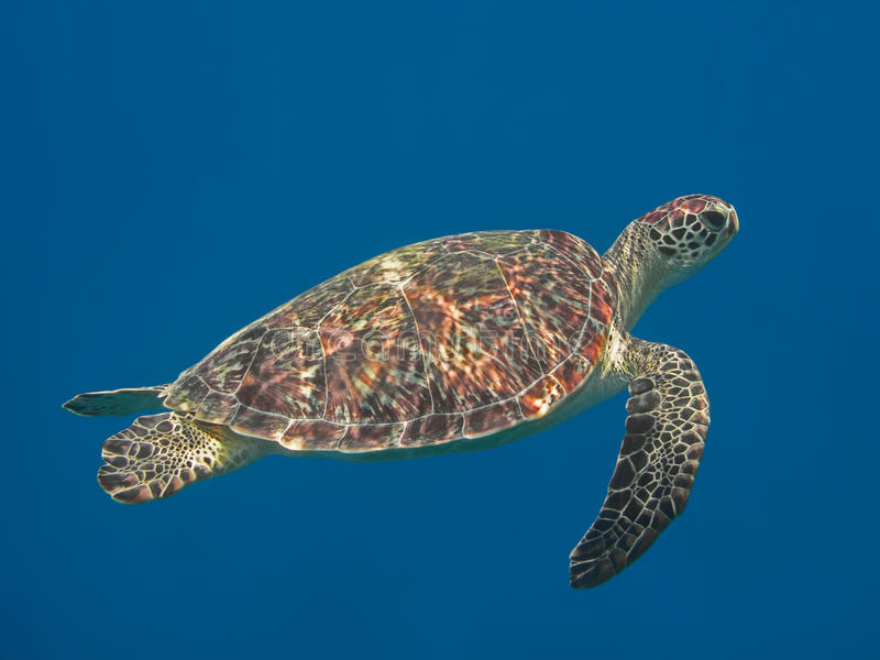 Green sea turtle in blue sea water, tropical tortoise swimming u royalty free stock photography