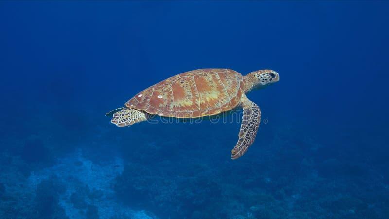 Green sea turtle stock photos