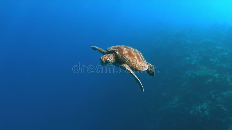 Green Sea turtle in blue water stock image