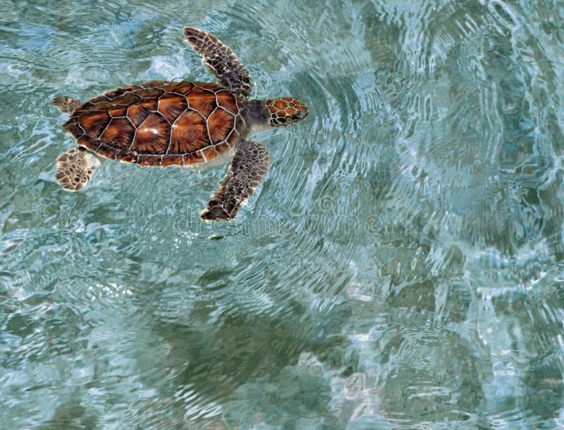 Green Sea Turtle, Cayman Island. A young green sea turtle swimming in the blue waters of Grand Cayman Islands stock images