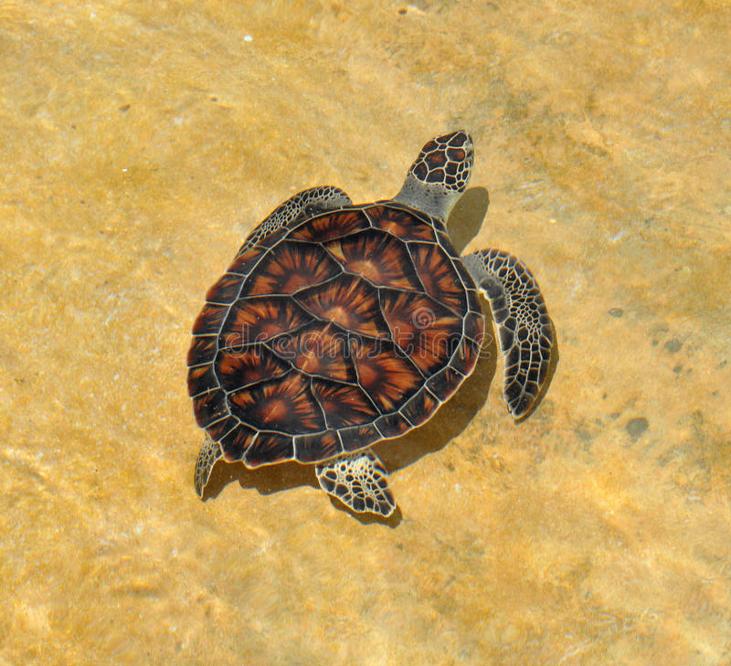 Green Sea Turtle, Cayman Island. A young green sea turtle at the turtle farm in the Grand Cayman Islands royalty free stock photography