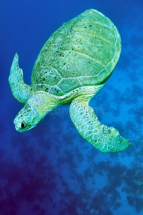 Green sea turtle (Chelonia mydas). Green Sea Turtle cruising through blue water. (Chelonia mydas stock photo