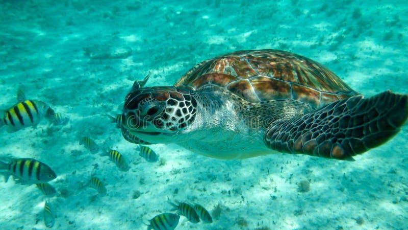 Green sea turtle (Chelonia mydas. Mexico, nature, north, america, animal, animals, natural, tropical, tropics, underwater, wilderness royalty free stock photo
