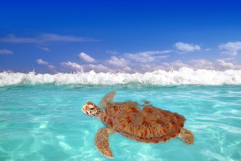 Green Sea Turtle Chelonia Mydas  Caribbean Stock Photo
