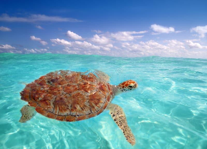 Green sea Turtle Chelonia mydas Caribbean. Sea Cheloniidae water surface stock photo