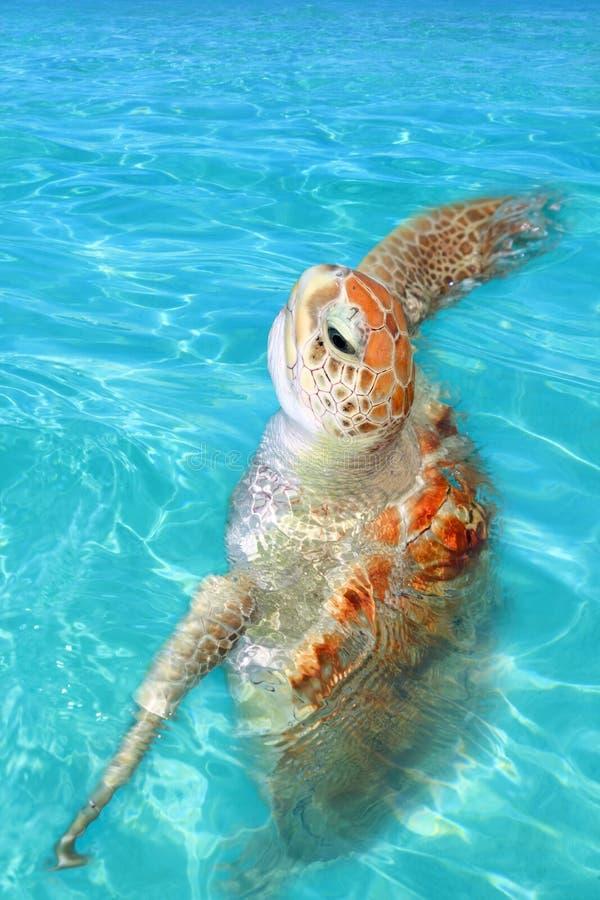 Green sea Turtle Chelonia mydas Caribbean. Sea Cheloniidae water surface stock image