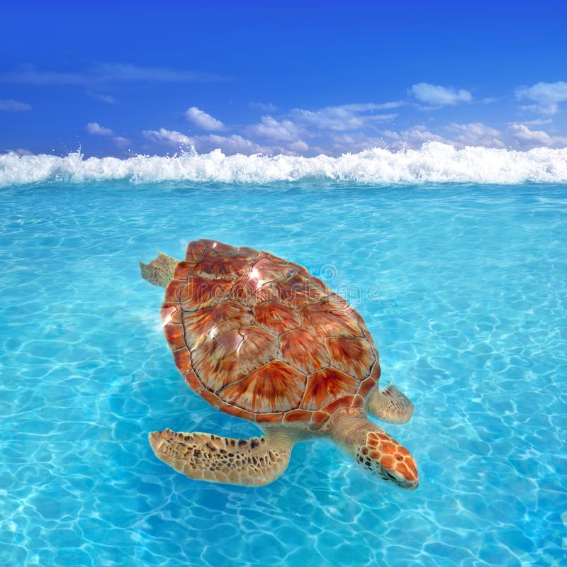 Green sea Turtle Chelonia mydas Caribbean. Sea Cheloniidae water surface stock photos