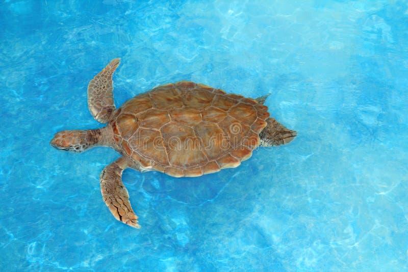 Green sea Turtle Chelonia mydas Caribbean. Green sea Turtle Chelonia mydas Cheloniidae in Caribbean sea surface royalty free stock photography