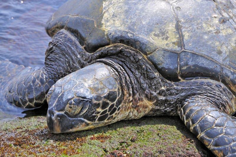 Green Sea Turtle (Chelonia Mydas). Close-up of the upper part of a Hawaiian Green Sea Turtle (Honu royalty free stock photos