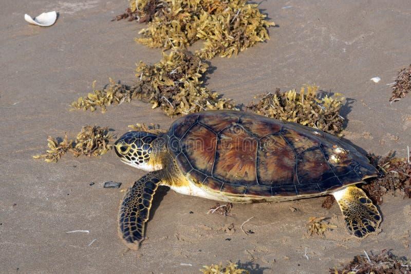 Green sea  turtle Chelonia mydas crawling along the beach among the sargassa algae. Status  Threatened.  Texas, Gulf of Mexico.  stock photos