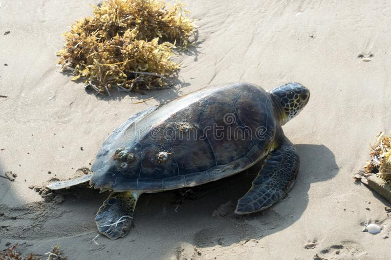 Green sea  turtle Chelonia mydas crawling along the beach. Status  Threatened.  Texas, Gulf of Mexico.  royalty free stock photography