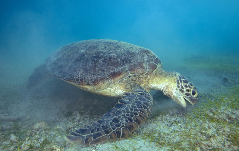 GREEN SEA TURTLE/ chelonia mydas. GREEN SEA TURTLE EATING GRASS IN TH BOTHOM royalty free stock image