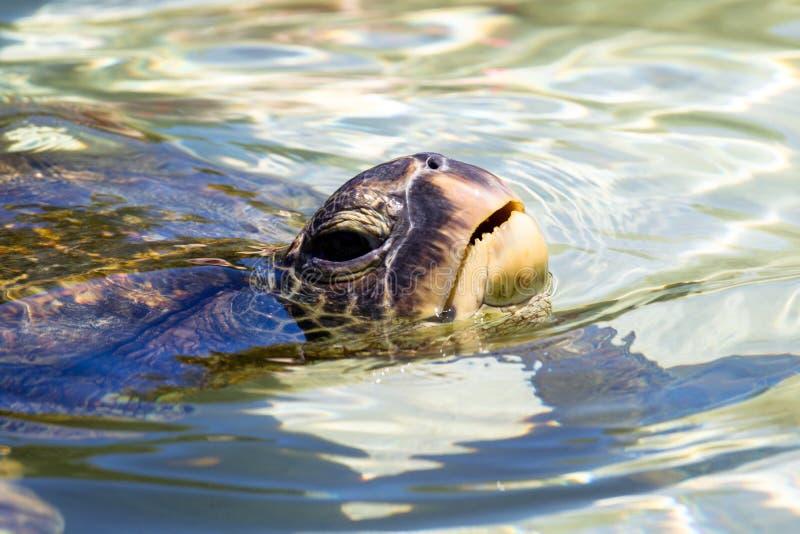 Green sea turtle Chelonia mydas. Swimming in the shallow water near Hilo on Big Island, Hawaii, USA royalty free stock photo