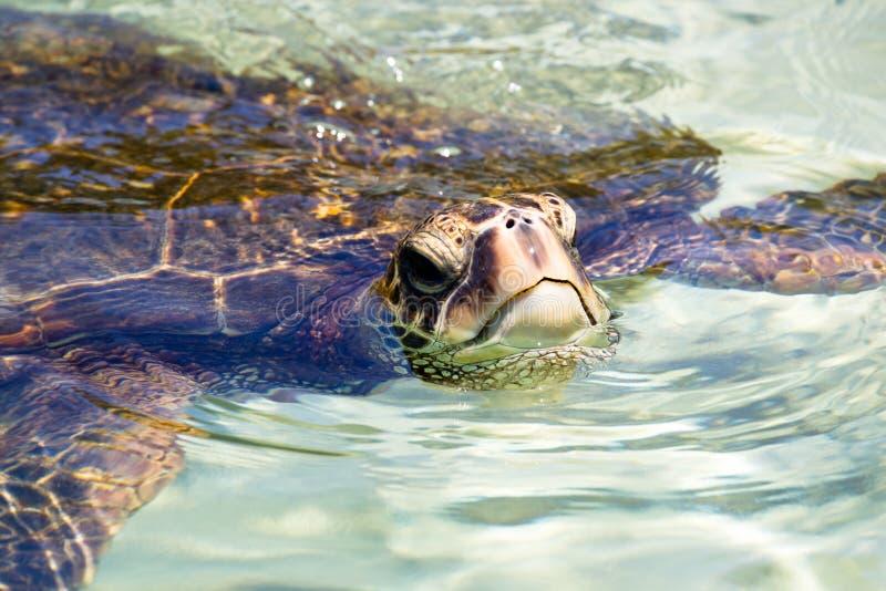Green sea turtle Chelonia mydas. Swimming in the shallow water near Hilo on Big Island, Hawaii, USA stock photos