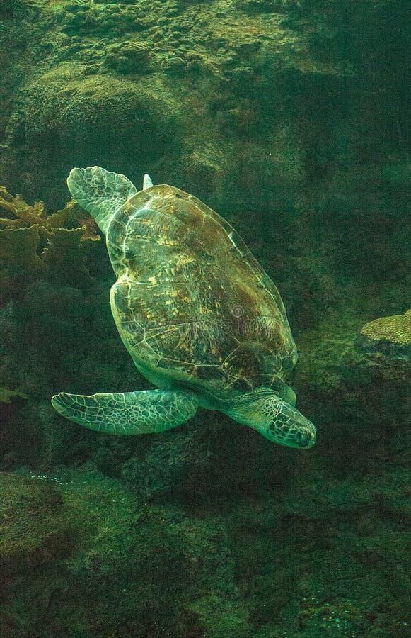 Green Sea Turtle Chelonia mydas. Swims along a coral reef stock photos