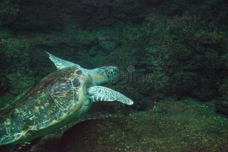 Green Sea Turtle Chelonia mydas. Swims along a coral reef royalty free stock photo