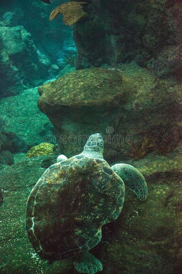 Green Sea Turtle Chelonia mydas. Swims along a coral reef royalty free stock photography