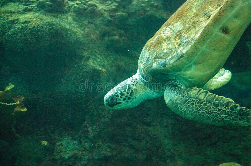 Green Sea Turtle Chelonia mydas. Swims along a coral reef royalty free stock images