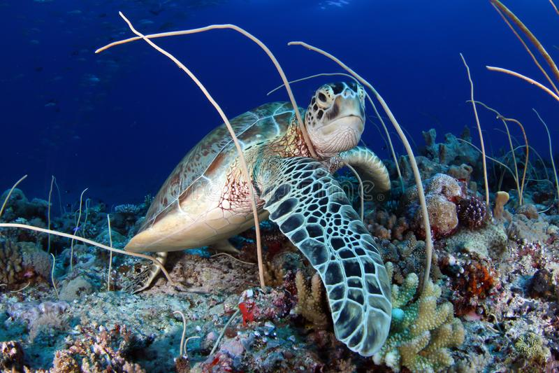 Green sea turtle, Chelonia mydas , feeding. Green sea turtle, Chelonia mydas , in Palau stock image