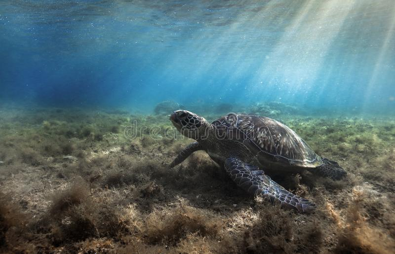 Green sea turtle Chelonia mydas resting in sea grass underwater. Green sea turtle Chelonia mydas resting in sea grass at Apo island, Philippines royalty free stock images